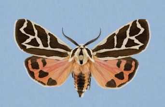 Phyllira Tiger Moth  (Grammia phyllira)