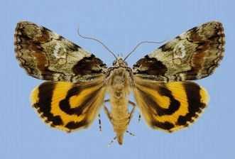 Precious Underwing Moth (Catocala pretiosa pretiosa)