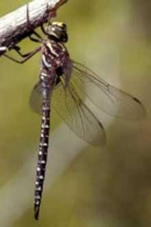 Subarctic Darner (Aeshna subarctica)
