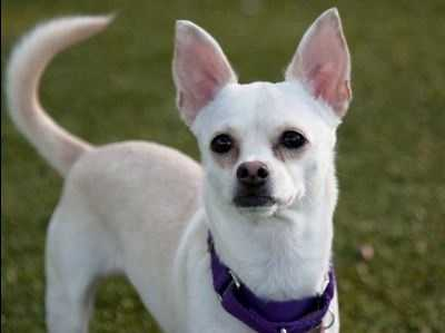 Gina is an approx 4 year Chihuahua mix who a came to us from an Animal Control facility after being found as a stray. She is cute as a button! Gina is very active and loves to go for walks and play with other dogs. We are not sure how she is with cats or kids. Gina can be nervous when meeting new people, but warms up pretty quickly if you give her a few treats. She keeps her kennel clean here and appears to be house trained, but would benefit from attending a basic obedience class to learn some manners. More