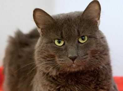 Jay was surrendered to our shelter as he was no longer able to stay in his previous home. So now this gorgeous boy is looking for a new home. With strangers he can be nervous at first, but once he gets to know you he is a very affectionate, cat. More