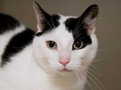 Maverick is a handsome cat but it doesn't end there, he has real pizzazz! He is playful and silly, talkative and affectionate. A cheek scratch will always be appreciated and he has an adorable little chirping way of talking to you. More