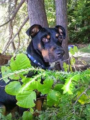 Raylan - 1.5 year old Rottweiler mix. Great activity partner- jogging, swimming or hiking. CLICK HERE FOR MORE.