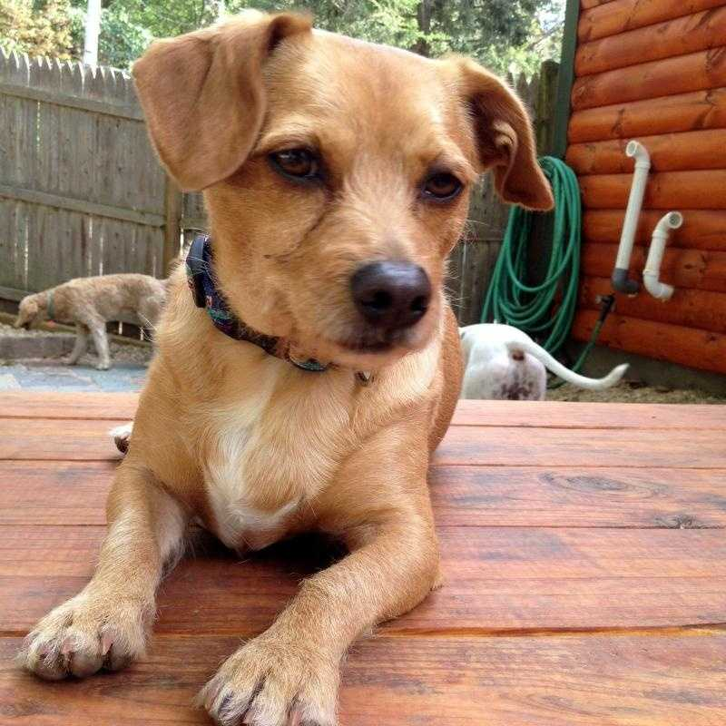 Skip - 5 year old Jack Russell mix. Active guy that would make a great outdoor activity partner. CLICK FOR MORE