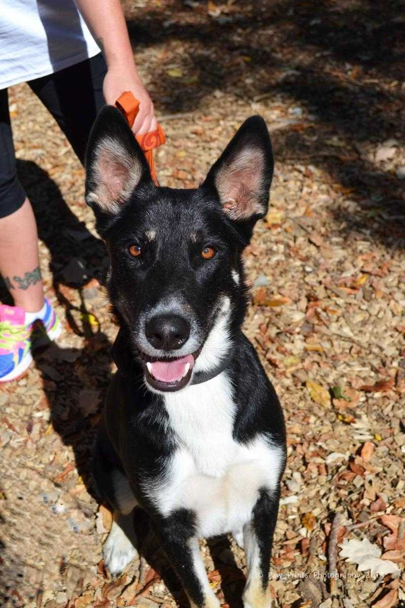 Bruce - 2 year old Husky-Shepherd mix. Loves to find the sunspots in the house. CLICK HERE FOR MORE