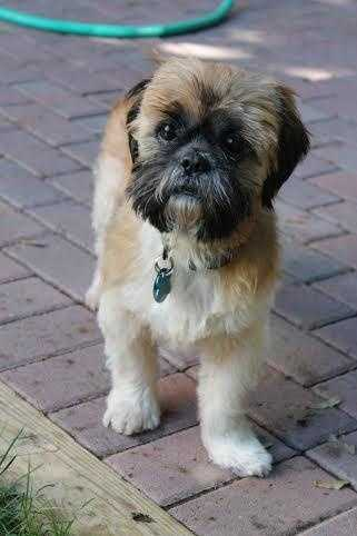Casey - 6 year old Shih Tzu. Perfect lap dog! Loves to take walks & smell the world. CLICK FOR MORE