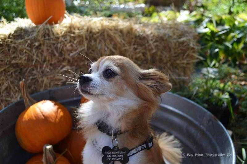 Charlie - 8 year old Chihuahua mix. Sweet & loving guy who loves to snuggle. CLICK HERE FOR MORE