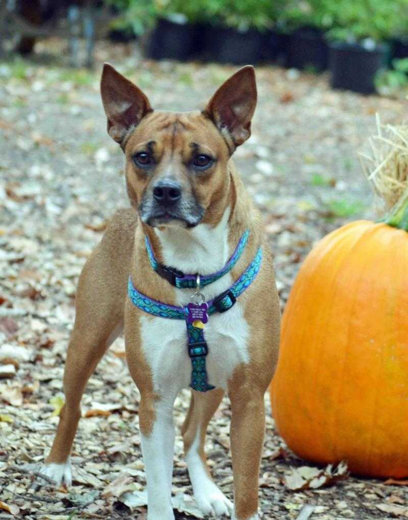 Chino - 2 year old Basenji-Boxer mix. Greets everyone with constant tail wagging & kisses. CLICK HERE FOR MORE