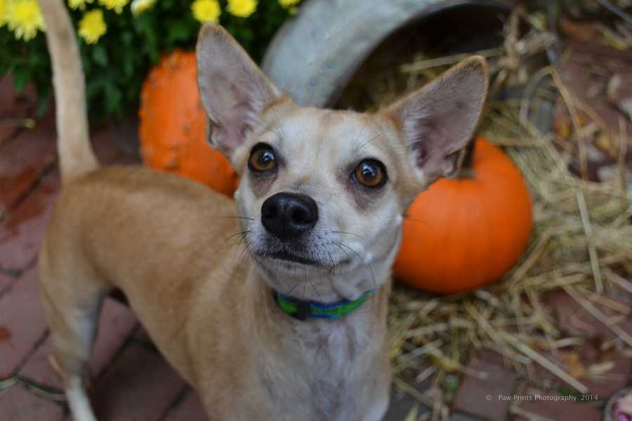 Gabbie - 3 year old Chihuahua mix. Loves to be apart of family activities. CLICK HERE FOR MORE