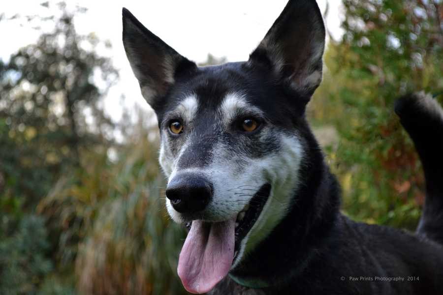 Fargo - 3 year old Husky mix. Loves the company of other dogs. Needs a home with canine friends. CLICK HERE FOR MORE.