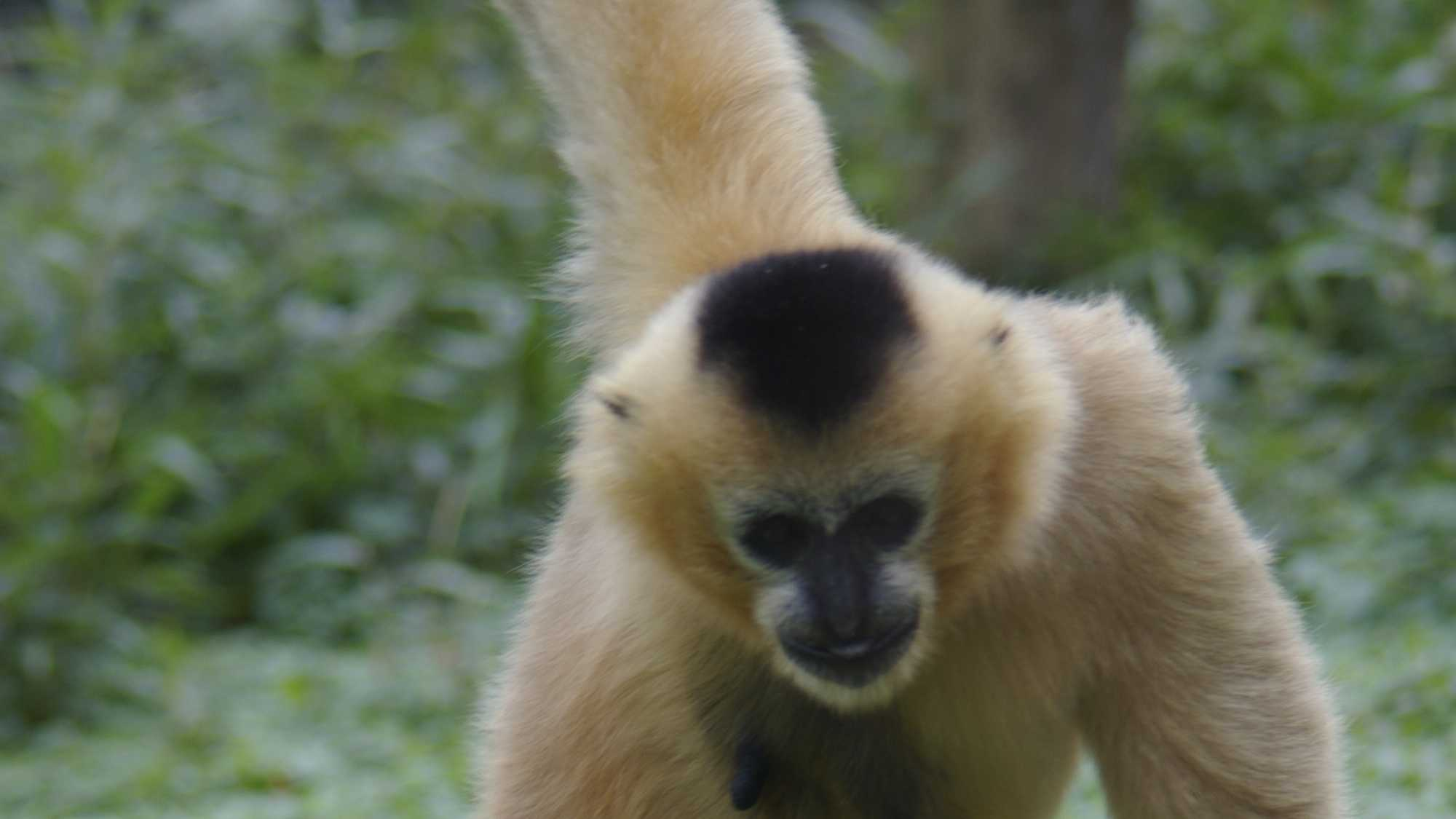 The Stone Zoo welcomed a baby white-cheeked gibbon on Oct. 16. The baby -- whose gender is not yet known -- was born to Iggy and Kien Nhan and has an older sibling, Paddy, 3. White-cheeked gibbons are critically endangered, with a population that's declined by at least 80 percent in the past 45 years due to hunting and habitat loss.
