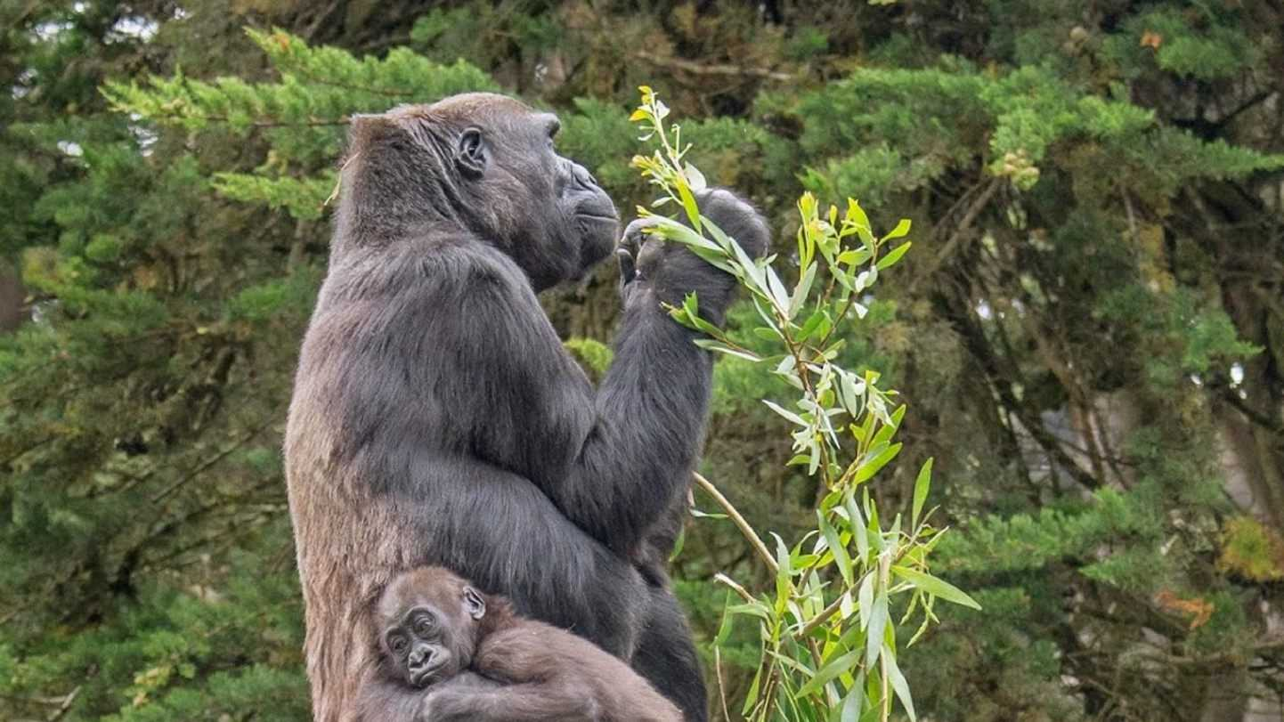 This June 12, 2014 photo provided by the San Francisco Zoo shows their 15-month-old femals lowland gorilla named Kabibe with her grandmother, Bawang. The Zoo announced Saturday, Nov. 8, 2014 that Kabibe, the youngest of its gorillas, died from injuries she suffered when she bolted under a hydraulic door that was being closed Friday, Nov. 7. Zoo spokeswoman Abbie Tuller said the accident happened after closing hours Friday as workers were moving animals into their nighttime enclosures. (