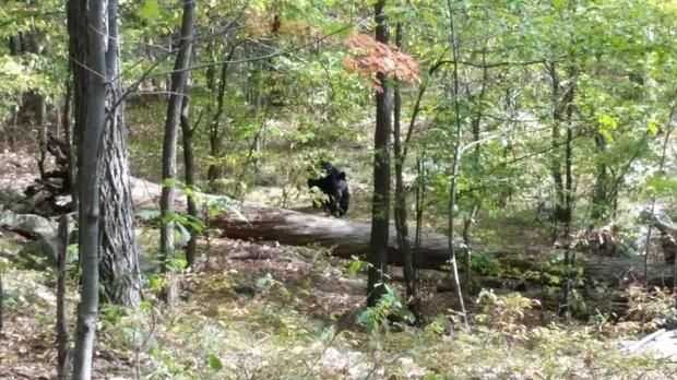 A photograph of the black bear which killed Darsh Patel on Sept. 21 in a wooded area of West Milford was recovered from the victim's phone, authorities say. The picture was taken from approximately 100 feet - but the bear kept approaching the group of hikers, who split up and fled just shortly before Patel was killed, authorities say. The cell phone was later found with a puncture mark from the animal's fangs, authorities added.