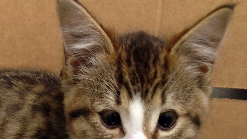 "A homeless kitten named ""Phil"" received sight-saving surgery at Angell Animal Medical Center last week."