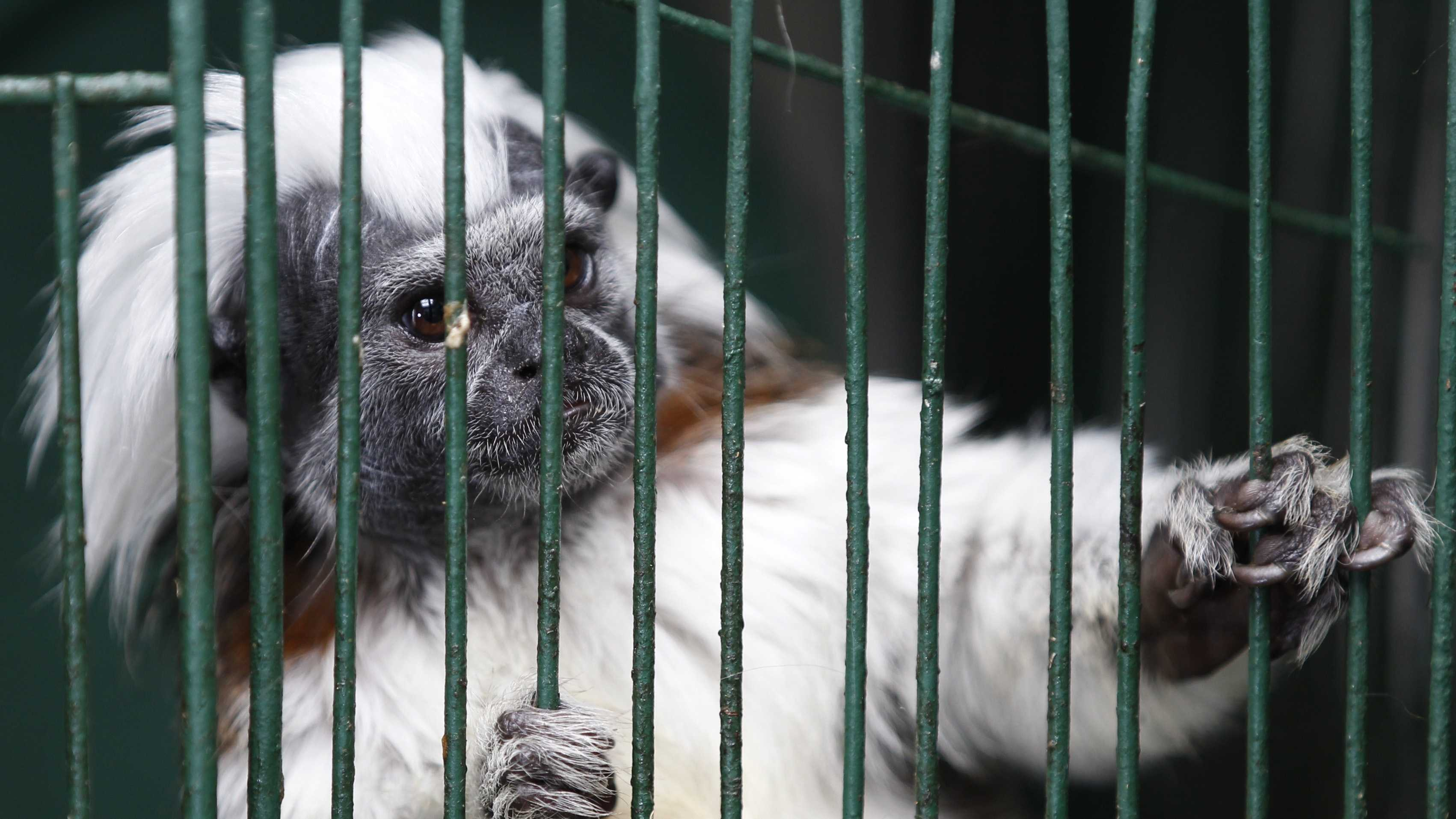 A young cotton-headed tamarin looks out from its cage at a temporary shelter west of Bogota, Colombia, Monday, Feb. 18, 2013.