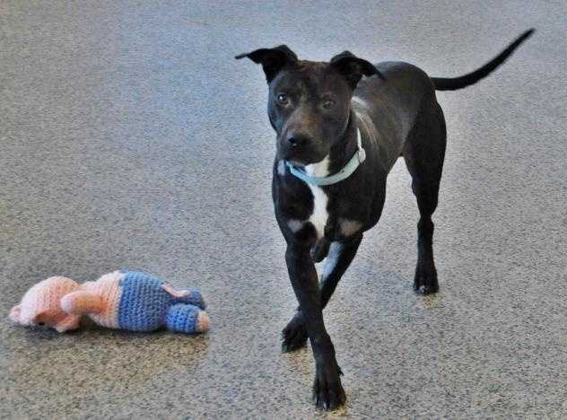 Hi! My name is Woodley, I am a one year old male pit bull mix who likes to PLAY, PLAY, PLAY! My ears like to play, too. They are pretty hilarious if I do say so myself! I am a young, happening kind of guy, especially if there are toys involved. I love toys! Balls, stuffies, and squeaky toys - I'm there!! I really, really like running and playing outside -- jogging, hiking, fetch, I'm up for any activity! MORE