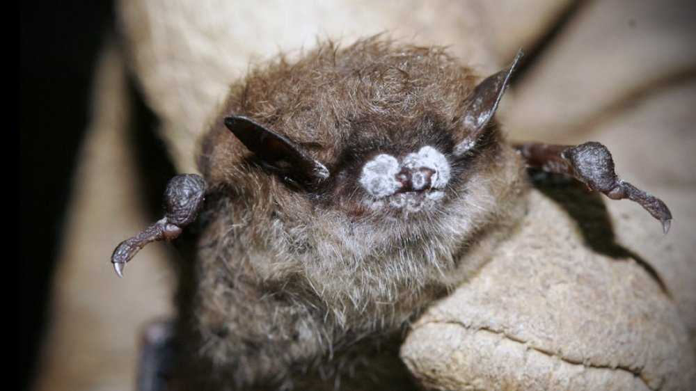 A brown bat shows symptoms of the fungus white nose syndrome.