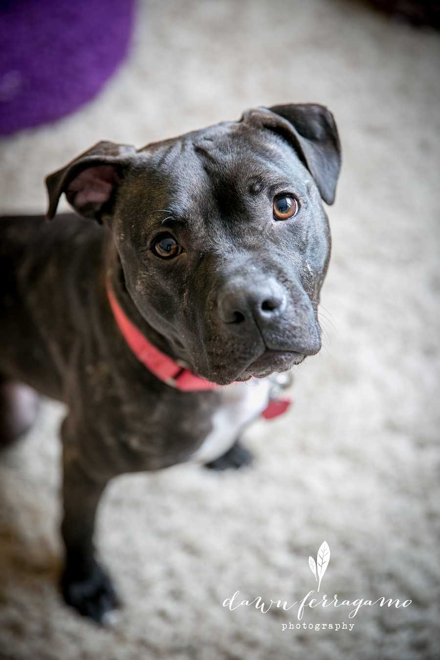 Noell is a 3 year old boxer-pit bull terrier mix. She's a special girl with 3 legs (tripawd), but that doesn't stop her! She enjoys going for walks with her foster mom and playing with her toys! MORE