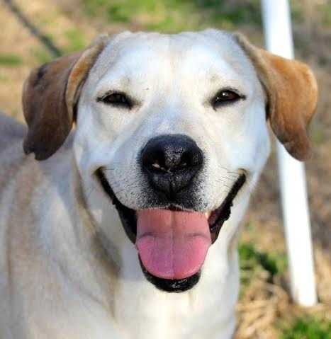 Rachel is a 4 year old yellow Labrador mix. She is an affectionate girl that loves to be by your side. She's looking for a loving family that she can snuggle with! MORE