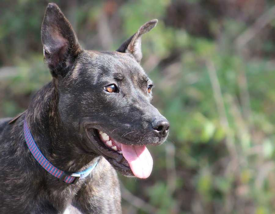 Addie is a 1.5 year old mountain curr mix. She's a happy girl that enjoys playing with other dogs. She'd love to join an active family that will take her exploring! MORE