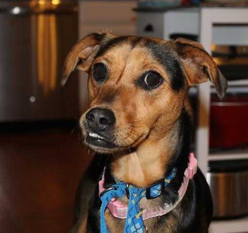 Bella Bean is a 1.5 year old pinscher mix. She's a playful girl that loves to snuggle. She has the best smile with that adorable under bite. She's looking for a quiet and patient home. MORE