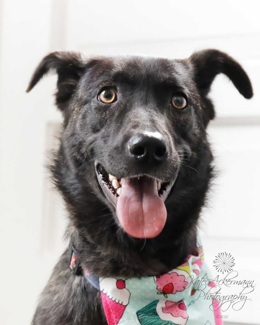 Cindy Lou is a 1 year old black Labrador mix. She's an athletic girl looking for an active home. She'd love a family with canine siblings! MORE