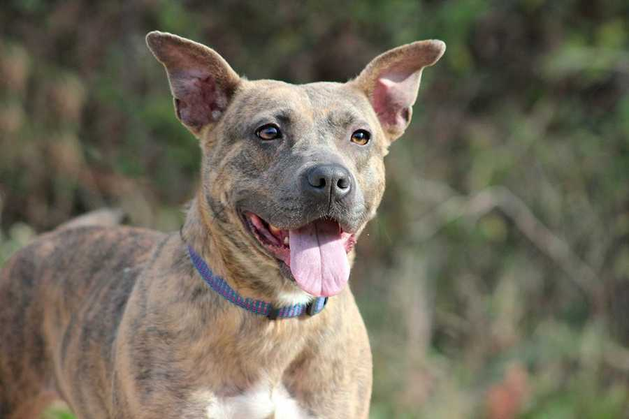 Evie Girl is a 2.5 year old mountain curr mix. She's an active girl that loves to play with other dogs. Sometimes she gets so happy she snorts! MORE