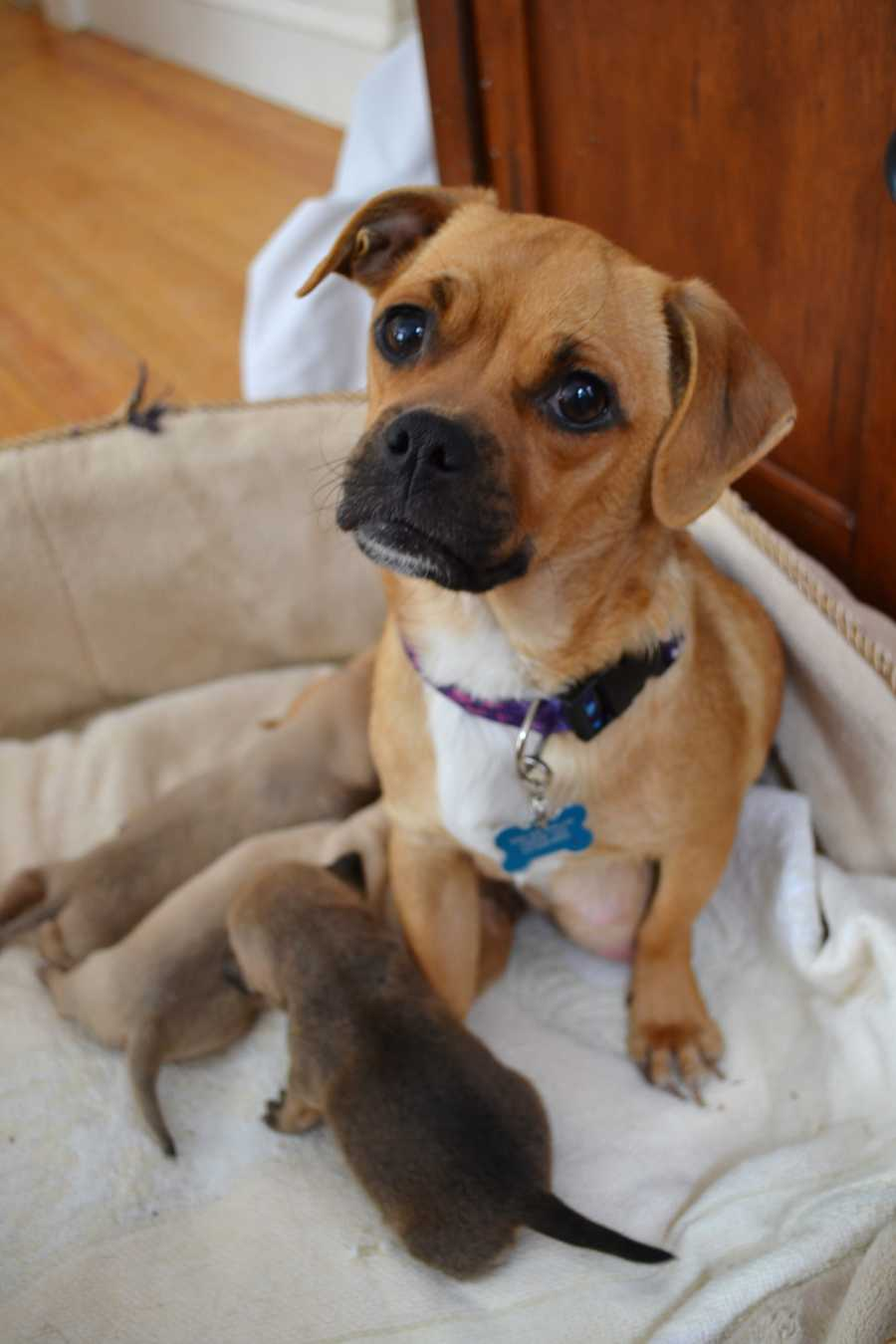 Harp is a 2 year old puggle mix. She recently gave birth to 7 babies and will soon be ready for her forever home! She's an attentive and loving girl that loves kids. MORE