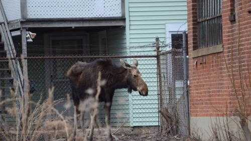 A moose stands in a parking lot between The Boulder bar and 854 Main St. in Fitchburg on Tuesday morning.