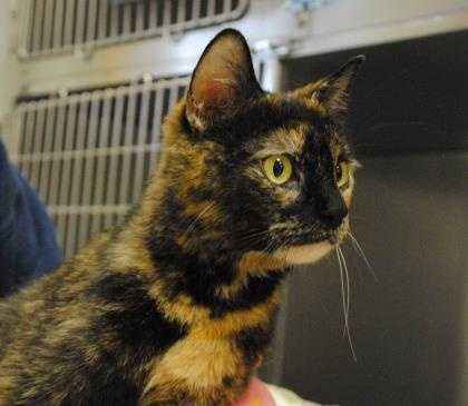 Coco is a beautiful cat who is looking for her forever home. She recently had kittens and did a great job of raising them. She is super affectionate and loves to purr. Please come meet this sweet girl! Please email shelter@baypathhumane.org for more info.