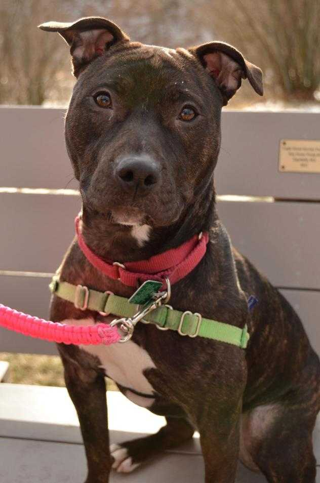 Athena is a 1 year 3 month old beauty. Athena has the perfect combination of intelligence and athletic ability. This pit bill terrier isa very energetic young lady and she would love to be part of your active lifestyle. Click here.