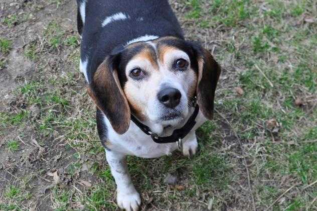 Cocoa is a beagle mix. She's an adult dog. Click here.