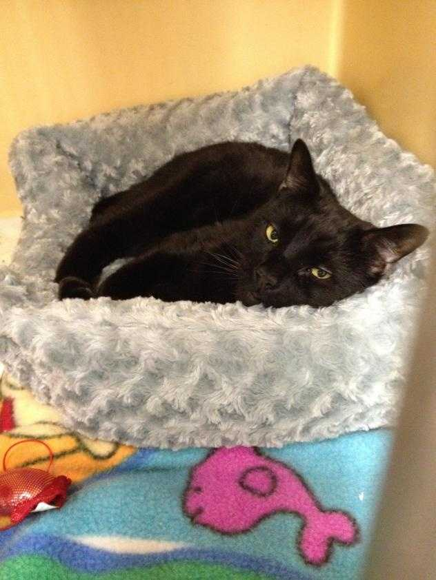 Bagheera is a 4 year old black short haired kitty. He was brought to the adoption center when his owner became ill and wasn't able to care for him. Click here.