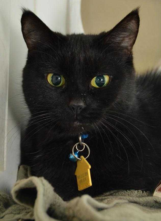 Little Bellafina is an affectionate, but not needy, 12 years young cat. Click here.