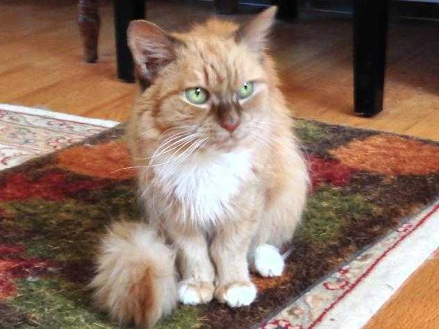 Butterscotch is a 9 year old orange tiger longhaired kitty. She was brought to the adoption center when her owner had to move and wasn't able to take her. Click here.