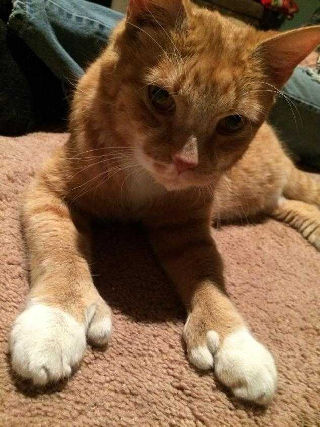 Flipper is a very handsome 10 year old orange tiger cat! Flipper has awesome double claw paws! Click here.