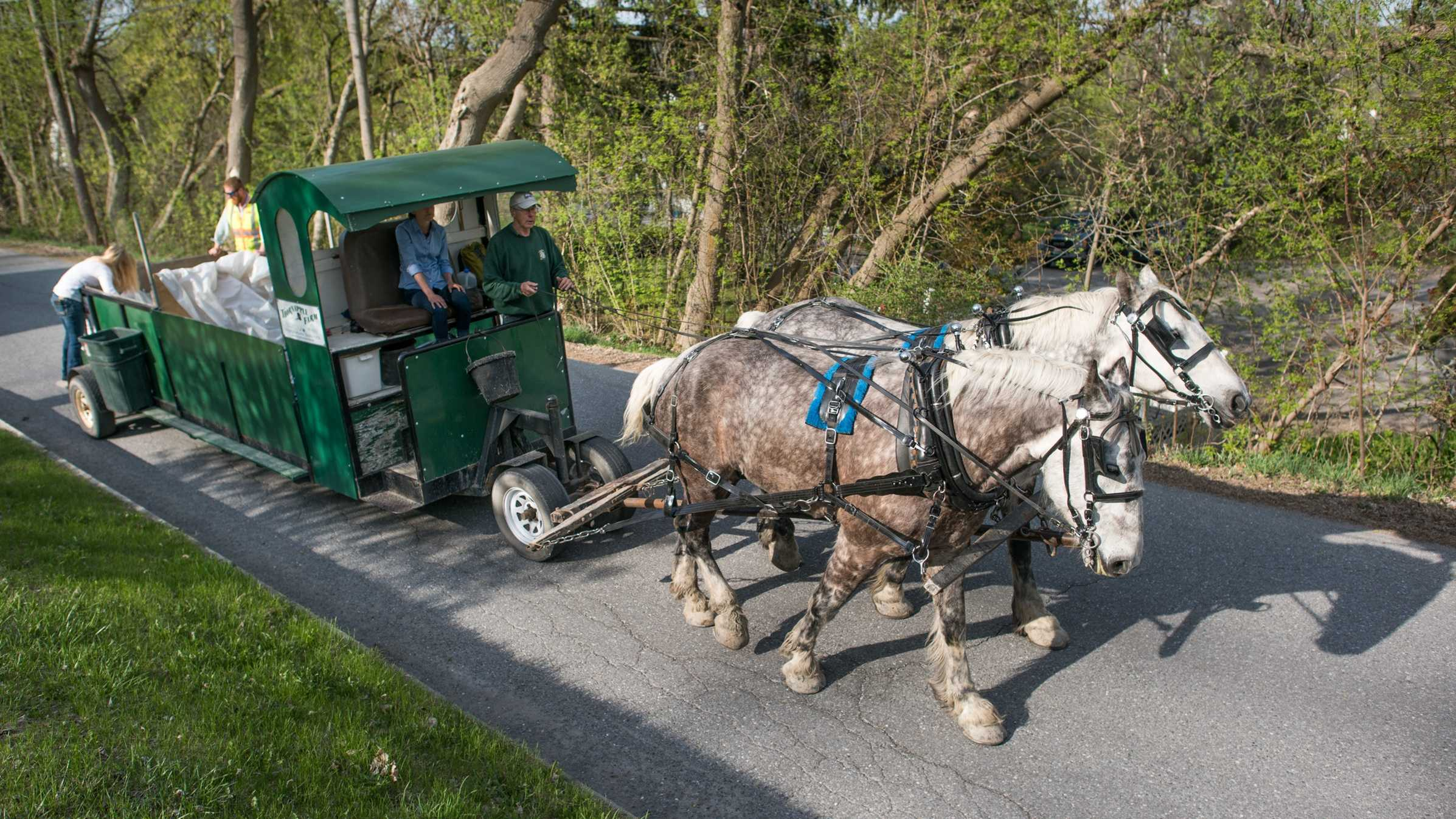 In this May 5, 2015 photo, Patrick Palmer drives his horse-drawn garbage collection wagon and its crew along a street in Middlebury, Vt. Palmer's horses have clip-clopped through the sleepy village of Bristol collecting trash for 18 years. Now he is training a younger crew to collect trash with a team of draft horses in the busier college village of Middlebury.