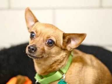 This little lady is an adorable 5 year old, tan Chihuahua mix. Missy can be fearful of strangers and small children, which is why we recommend a patient and experienced dog owner. She would make a great addition to a quiet home, without small children, or other animals. Once she has gotten to know you, you can look forward to canine kisses and lots of bum wiggles. She enjoys time out in our play yard and all things having to do with plushy toys. More