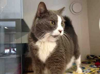Smokey is a reserved older gentleman who is as handsome as can be! He enjoys a quiet environment and would like a home with one or two people who he can really bond with. While Smokey was quite shy when he first arrived, he has opened up in a very short time! He enjoys being petted once he gets to know you, loves getting treats, and is looking for a special spot on the couch just for him! More