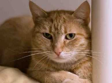 Zoe is a rare female orange tabby! Here at the shelter she is shy, but we think she'd blossom in a quiet, adult-only home. When it's quiet and Zoe feels safe, she She loves belly rubs, head scratches and full body petting. She'll nudge you for more and when she gets to know you, she'll even roll over and ask for belly rubs! When Zoe is really happy, she makes a little meow sound, which is super cute. More