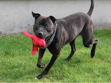 Charlie is a handsome dark brindle mixed breed. This playful lad was found outside, so we don't know any of his past history. He loves to go for walks and have playtime, then settle down for a nice snooze. Tennis balls make Charlie a very happy man! He is unsure and timid of new people, especially men, and will bark to let you know that he's nervous. He needs an owner who can keep introducing him to new people in a positive manner to help alleviate his fears. Charlie appears to be housetrained - he keeps his kennel nice and clean. More