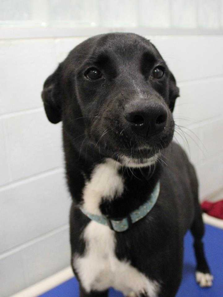 My name is Asabachi! I am a two year old male Border Collie mix from Puerto Rico. I do well with dogs but I'm not sure how I feel about cats. I am not quite housebroken but I'm really smart so I'll be a quick learner. I am very energetic. I will do best with dog-savvy kids ages 13+. For more information, please call, visit, or email the shelter. Buddy Dog Humane Society, Inc. Sudbury, MA (978) 443-6990 or info@buddydoghs.com