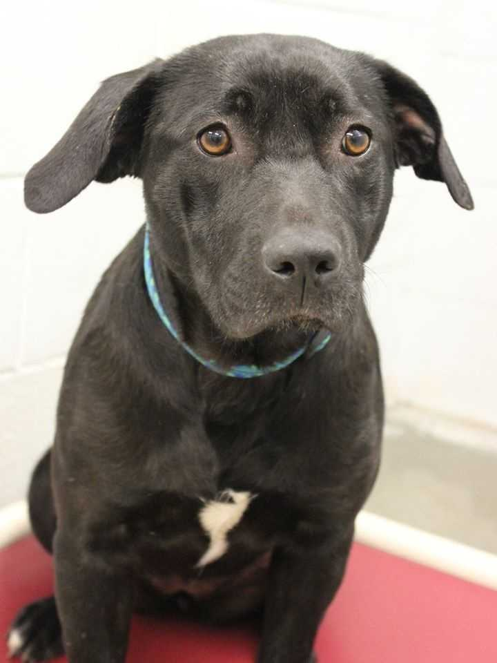 My name is Bumpkin! I am 11 month old female Labrador mix. I am goofy and sweet. I love other dogs, but do not get along with cats! For more information, please call, email, or visit the shelter. Buddy Dog Humane Society, Inc. Sudbury, MA (978) 443-6990 or info@buddydoghs.com