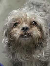 My name is Millie! I am a four year old female Shih-Tzu mix. For more information, please call, email, or visit the shelter. Buddy Dog Humane Society, Inc. Sudbury, MA (978) 443-6990 or info@buddydoghs.com