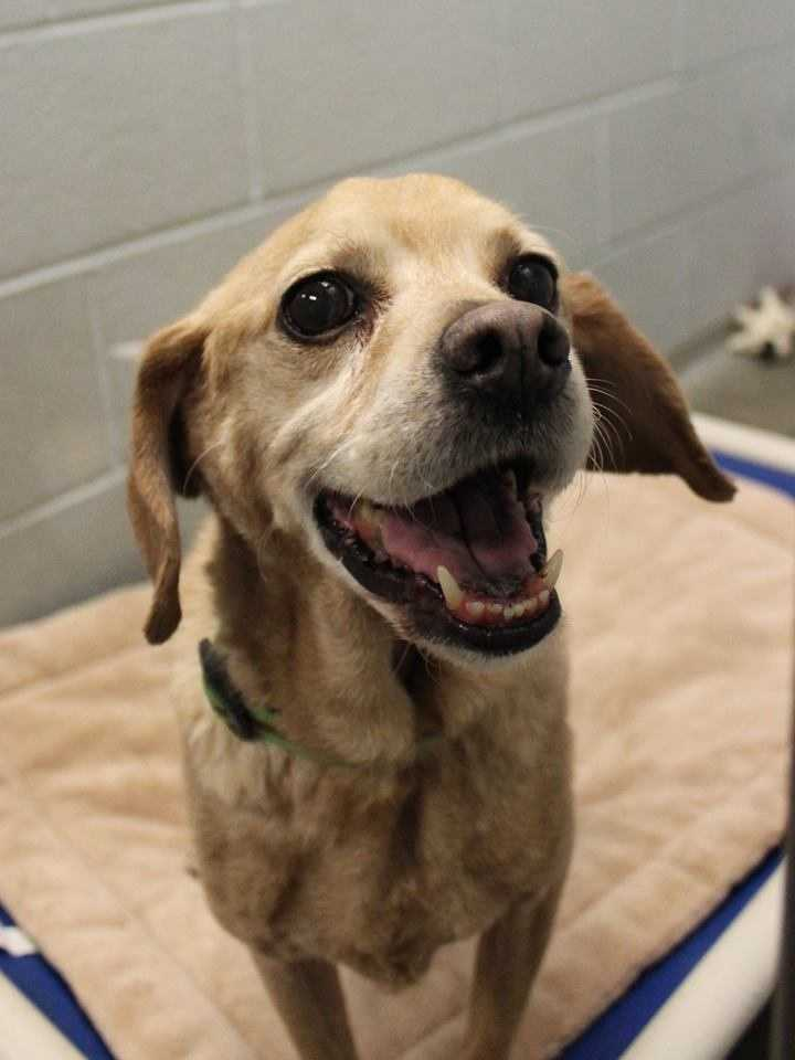 My name is Oliver! I am a 7 year old male Beagle mix. My family loved me very much but was no longer able to care for me. I am housebroken, crate-trained, and ride well in the car. I get along with kids of all ages, dogs, and cats! For more information, please call, email, or visit the shelter. Buddy Dog Humane Society, Inc. Sudbury, MA (978) 443-6990 or info@buddydoghs.com