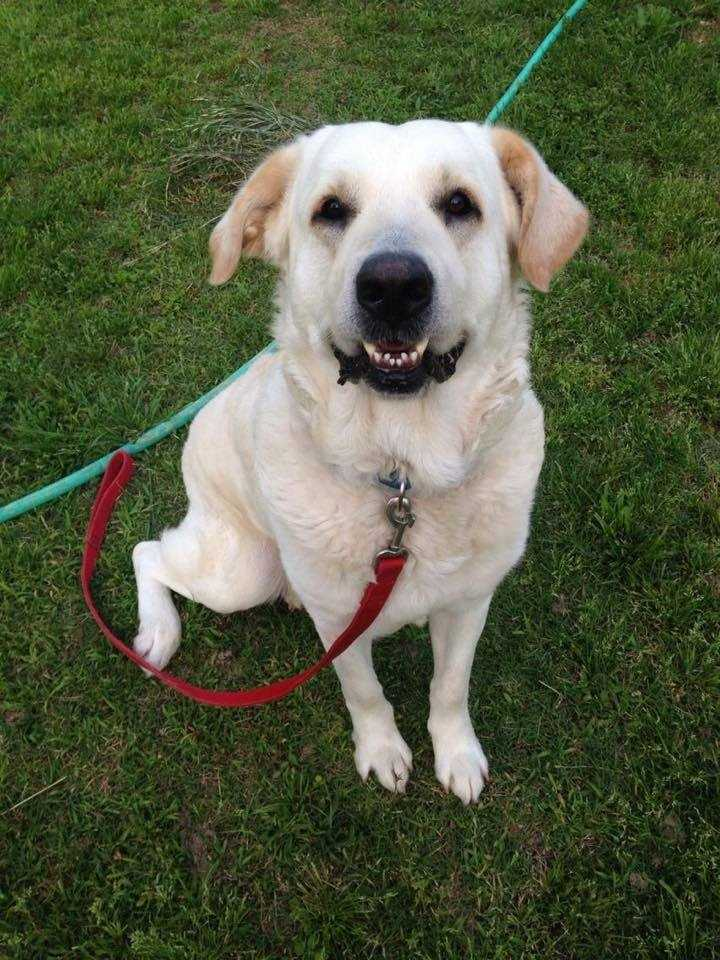 Ambrosis: He is a 6-7 year old Golden Great Pyrenees mix that weighs 85 lbs. He is good with other dogs and kids, but mostly likes to follow his humans around and always be at their side. He is crate trained and house trained and would love a forever home to live out his golden years. Contact Ruff Start for more!