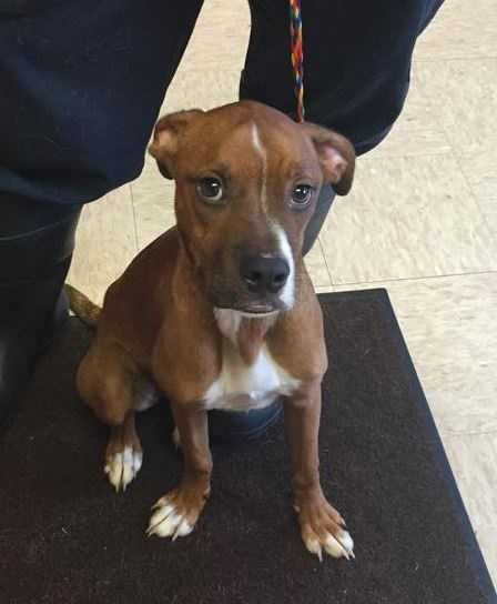 """Marley: She is a 2 year old """"Pocket"""" Boxer mix weighing about 35 lbs. She is amazing with kids, and gets along well with other dogs and cats. She would be a great addition to any family! Contact Ruff Start for more!"""