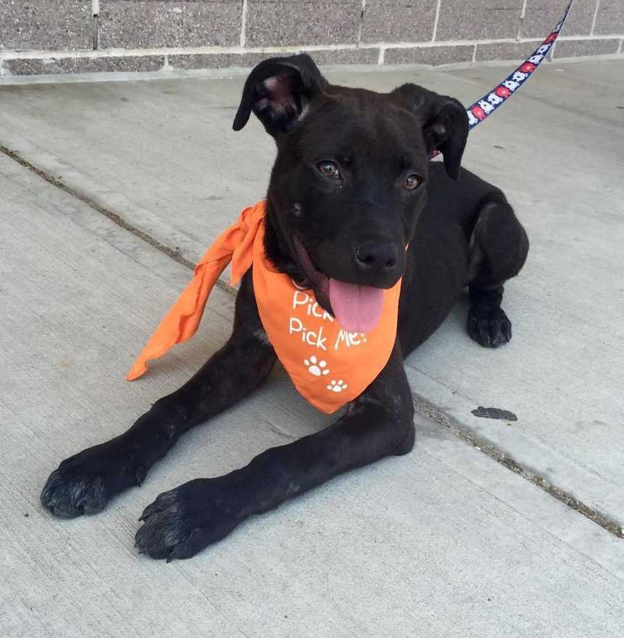 Sargent: He is a 5 month old Feist mix weighing 25 lbs. This young boy is good with dogs, cats, and kids! He is also crate trained! He would be great with a family with kids! Contact Ruff Start for more!
