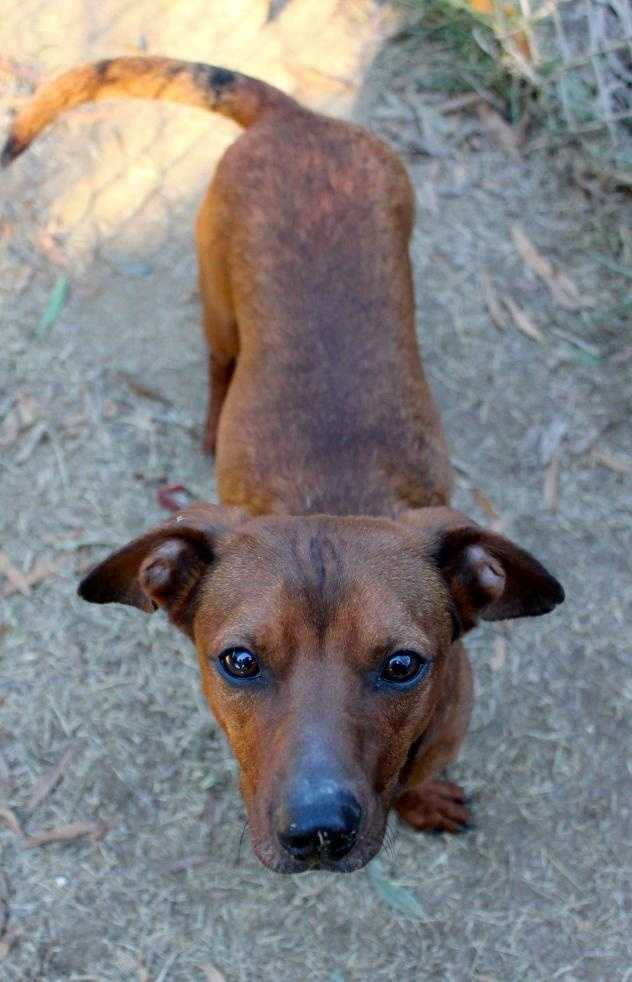 Cody is a 3 year old dachshund mix. He loves to play fetch and snuggling with kids. MORE