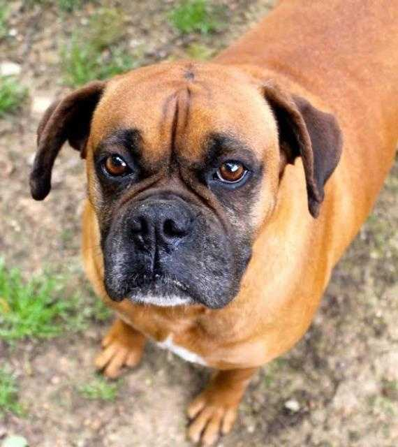Maddie is a 5 year old boxer. She's a laid back girl who loves receiving affection. MORE